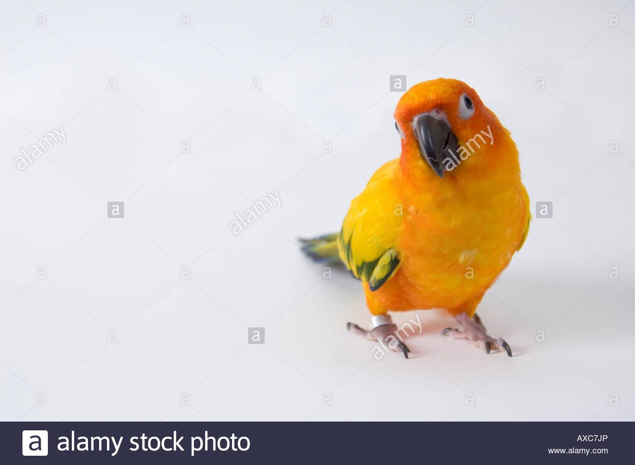 parrot a