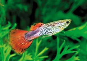 poisson aquarium guppy